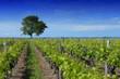 vignoble du cognac - 75642158