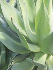 Full frame Aloe Vera leaves