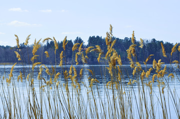 Reeds by lake in early spring, Stockholm, Sweden