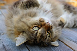 Norwegian Forest Cat with cuddly look. poster