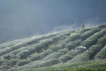 "Organic tea farm at ""Doi Ang Kang"", Chiangmai"