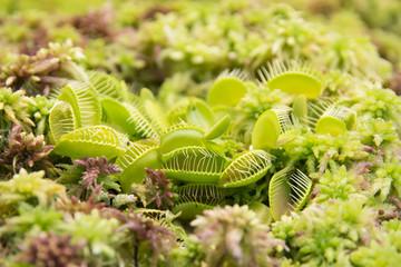 Venus flytrap Dionaea muscipula