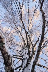 Inside a Birch Tree in Winter