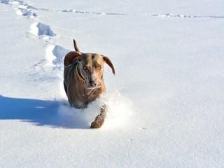 Weimaraner im Schnee