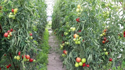 Organic tomatoes in the ecological greenhouse.