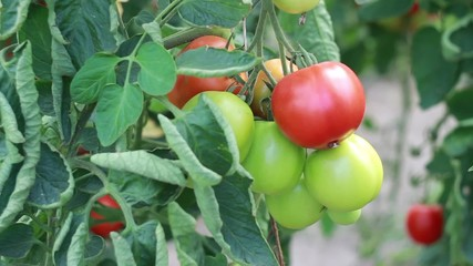 Organic tomatoes in the ecological greenhouse. Close up