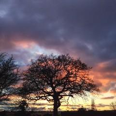 Sunset behind an oak tree