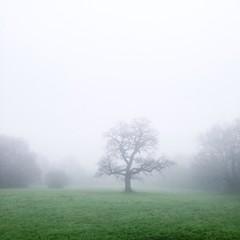 Misty morning and oak tree
