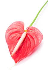 Pink anthurium (Flamingo Flower; Boy Flower)
