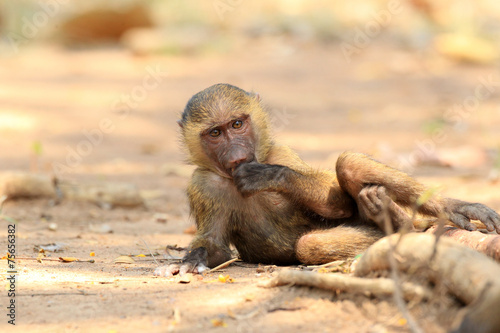 Foto op Canvas Aap Olive Baboon (Papio anubis) in Mole National park, Ghana