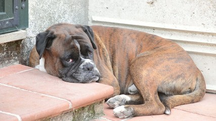 dog falling asleep in the porch