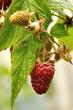 branch of red raspberry