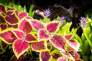 Pink leaf of plant