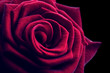 canvas print picture - Beautiful red rose close-up