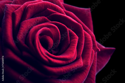 canvas print picture Beautiful red rose close-up