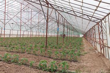 Bell Pepper Seedlings