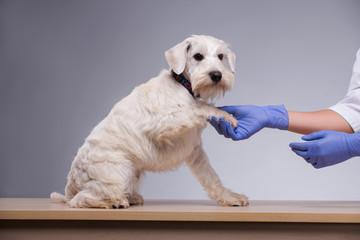 Cute little dog visits vet