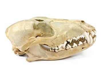 Dog skull isolated on white