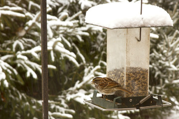 Carolina Wren at Feeder in Snow
