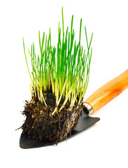 Green wheat grass with roots in the shovel