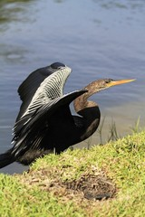 Anhinga drying up its wings