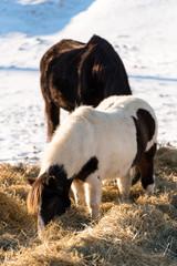 Brown horse in winter
