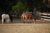 Feral Horses on Comberland Island, GA, USA poster