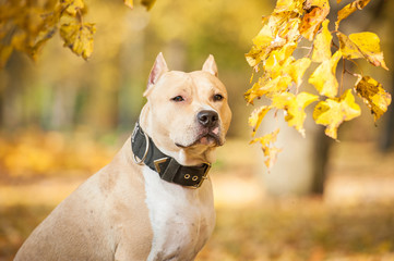 Portrait of american staffordshire terrier in the park in autumn