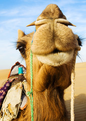 Happy Camel Smiling Desert Clear Sky Concept