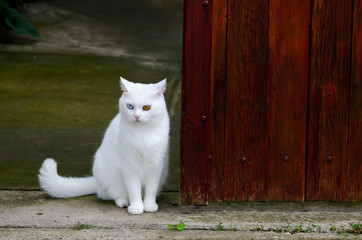 Beautiful white cat with different color eyes