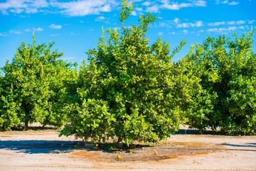 Lemon Trees Field