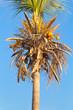 cocotier dépouillé de ses feuilles