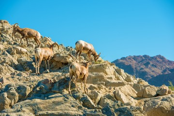 California Bighorn Sheeps