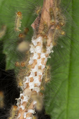 Moth larvae hatching