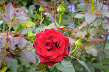 rose flower on garden background