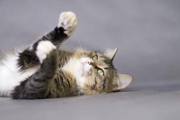 beautiful fluffy playful cat