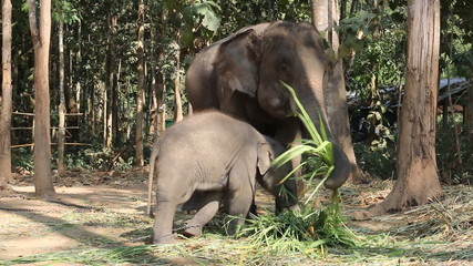 Elephants eat grass.