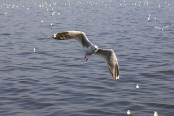 Seagull flittering over the blue sea to find its preys