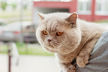 lilac british cat sitting on the arm