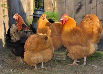 poules et coq orpington