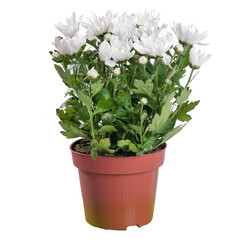 Chrysanthemum white in the pot (Chrysanthemum)