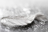 Fototapety White feather with water drops
