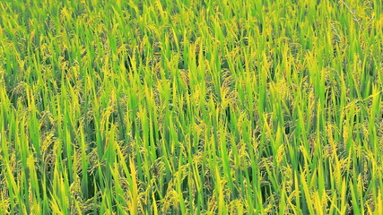 paddy on stalk in field swaying by wind