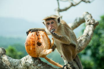 Monkey eating coconut