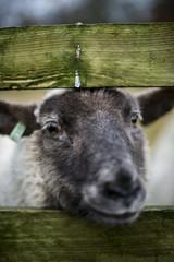 Sheep head focus on the eye.