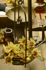 Chimonantussläktet Chimonanthus Calicanto Wintersweet
