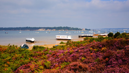 Purple heather and Brownsea Island Poole Harbour Dorset UK