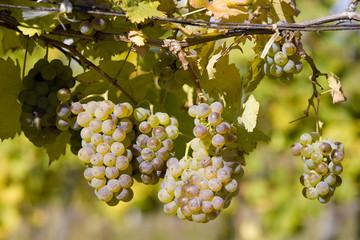 grapevines in vineyard, Czech Republic