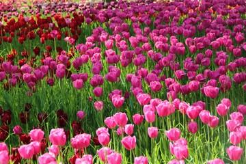 Tulpenwiese Pink