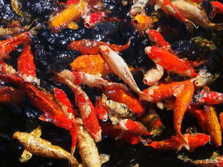 Beautiful frenzy japan koi fish in the pond